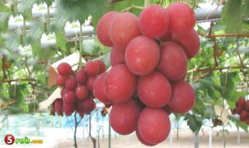 اغلى فاكهة العالم
