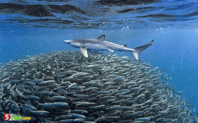 الأسماك تسبح بشكل