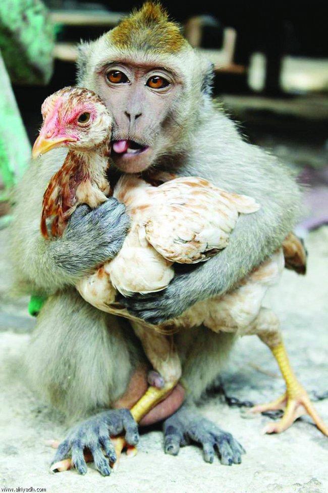 قرد يقع في غرام دجاجة