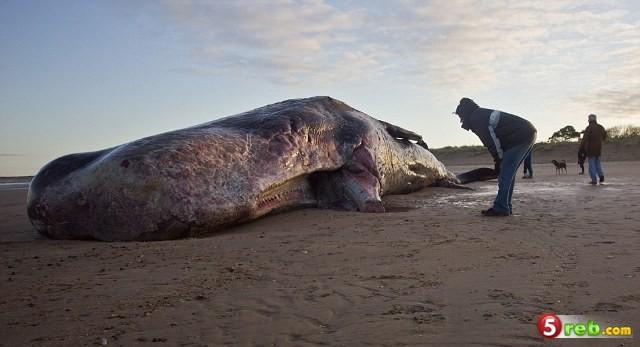العثور على جثة حوت ضخم جدا يبلغ طوله 40 قدماً - صور