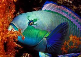 السمك الببغاء